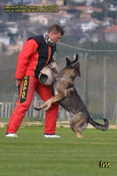 La mordida en el perro de trabajo IGP: Por Nacho Sierra