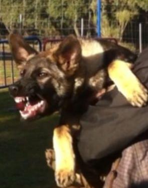 La agresividad en el perro. Por Nacho Sierra